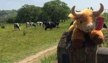 Bernard the Cow