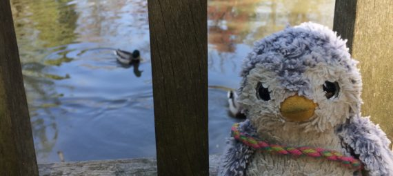 Arnold watching the ducks